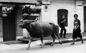 水牛の散歩