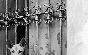 板張りされた窓から顔を出す犬