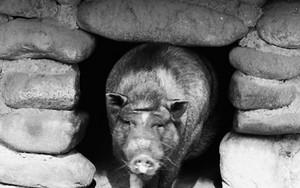 Pig At A Hole
