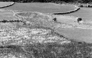 Woman Walks In The Rice Field