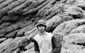 Man In The Tea Field