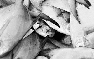 Open-eyed Fishes In The Market
