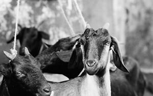 バザールにいた山羊たち