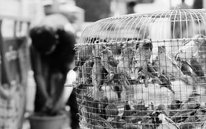 Bird Cage For Releasing Bird
