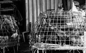 鳥籠の中の鶏