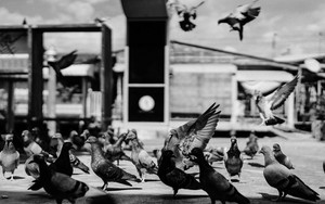 Pigeons In Wharf