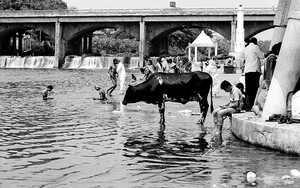 Cow In The Godavari River