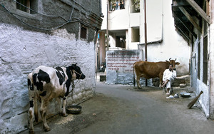 Cow, Cow And A Man