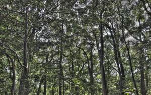 Clump Of Trees In Meiji Jingu