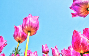 Skyward Tulip