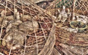 網の中のニワトリ