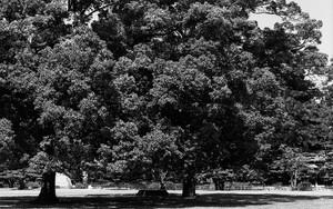 Trees In Ritsurin Garden