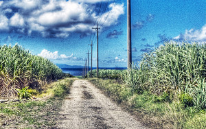 さとうきび畑の中の道
