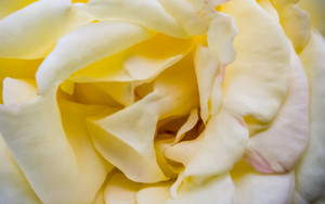 Soft Petals Of Rose