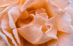 Closeup Of A Rose