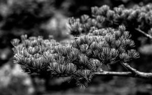 Pine In Korakuen Garden