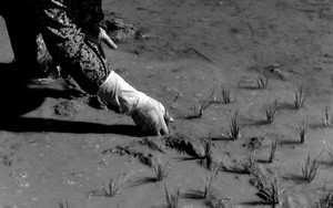 Woman Was Juts Planting Rice