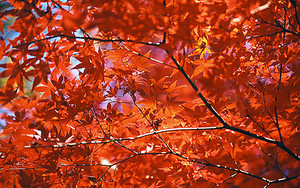 Maple Tree In Inokashira Park