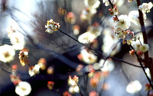 White Blossoms Of Japanese Apricot