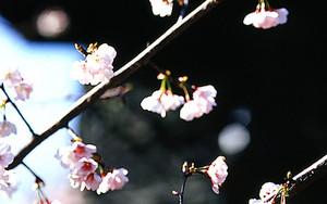 灯籠の横に桜