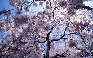 落ちてくる桜の花