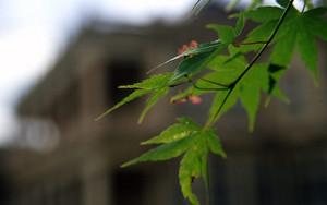 Leaves In Iwasaki House