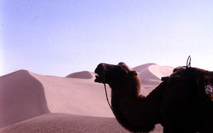 Camel In Mingsha Shan