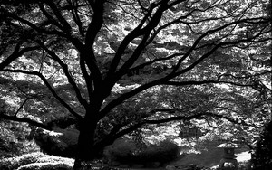 Silhouette Of A Spreading Tree