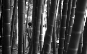 Bush Of Bamboo In Kodai-Ji