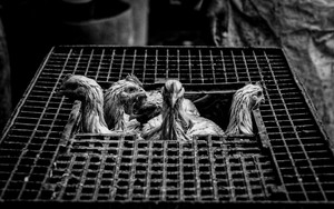 Chickens In The Cage At A Slaughterhouse