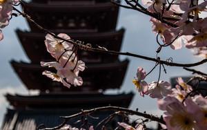 浅草寺の桜と五重塔
