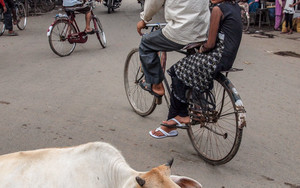 Cow And Bicycle