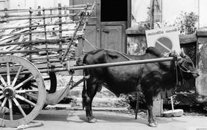 駐車違反の牛車