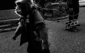 Monkey On Leash Was Walking