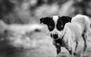 Bright-faced Dog