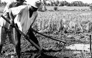 Farm Work In A Rice Paddy