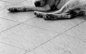 床に這いつくばる犬